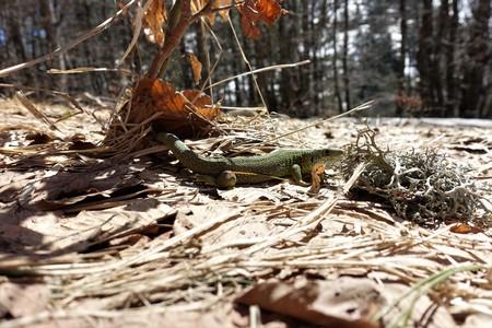 A close up of a lizard as it warms itself up after winter hibernation. Stock fotó