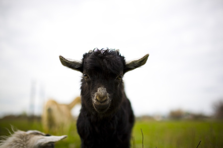 he goat: A young goat grazes in a meadow. He looks into the camera. Stock Photo