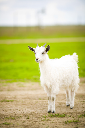 baby goat: A young goat grazes in a meadow.