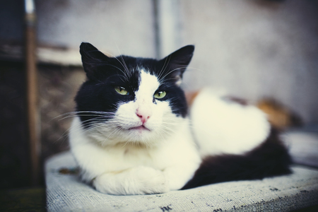 grey eyed: Portrait of black and white rural cat with green eyes Stock Photo