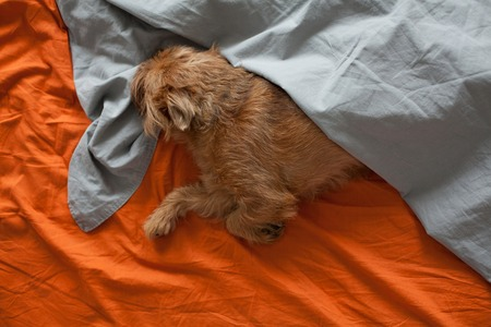 Red dog sleeping on the orange sheet, covered with a grey blanket.