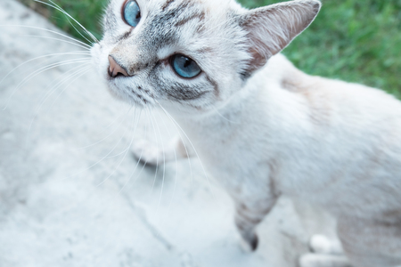 Cute gray short-haired kitten with big blue eyes looking at the camera