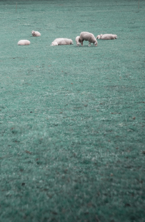 Vertical photo of sheep that graze in a meadow with an empty place for text
