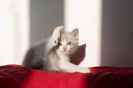 A gray cute cat with blue eyes fills his leg like a yoga pose and looks at the camera on a red pillow. Top place for text