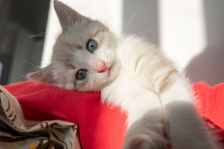 Gray cute cat with blue eyes takes a selfie and looks at the camera on a red pillow