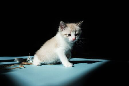 White little luminous cute kitten sitting on blue floor and looks around on a black background. Minimalism shot and up empty space for text
