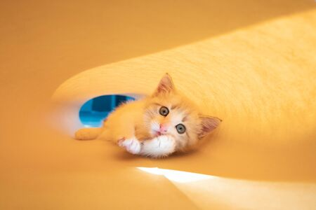 Cute white kitten on a yellow background goes and looks at the camera