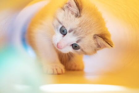 cute white kitten on a yellow background plays on a blurred background