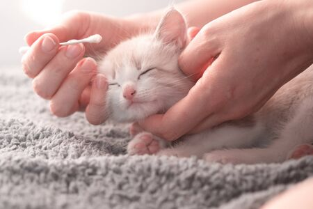 Female hands rub eyes to a cute cozy kitten with a cotton swab holding his head on the bed. Cat treatment at home 写真素材