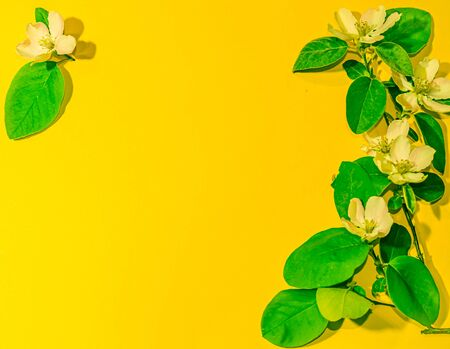 spring apple blossom on a yellow background Stock Photo
