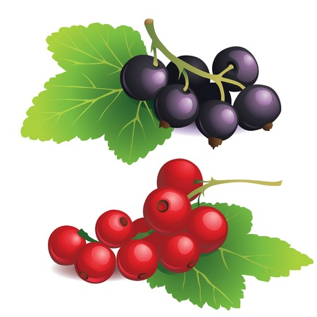 currants: Vector Illustration of  Clasters of black and red currants