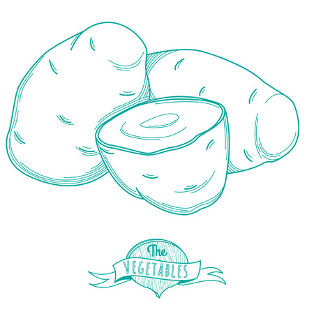 Vector illustration Outline hand drawn sketch of potato (flat style, thin  line)