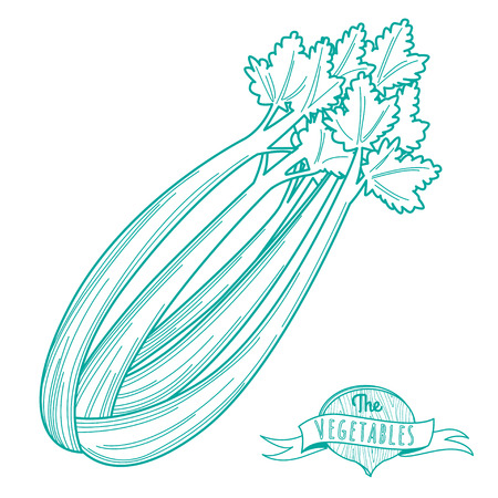 celery: Vector illustration Outline hand drawn sketch of celery (flat style, thin  line)