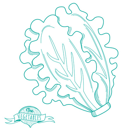 romaine lettuce: Vector illustration Outline hand drawn sketch of lettuce (flat style, thin  line)