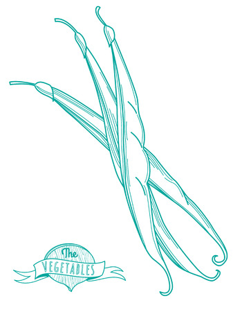 haricot: Vector illustration Outline hand drawn sketch of haricot (flat style, thin  line) Illustration