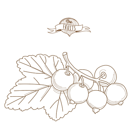 Vector illustration Outline hand drawn blackcurrants with leaves (flat style, thin line). Isolated on white background