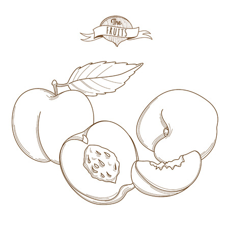 nectarine: Vector illustration Outline hand drawn peach (flat style, thin line). Single peach, part of peach, isolated