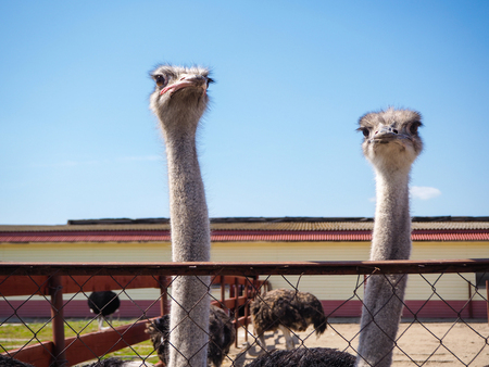 flightless: Ostrich bird head and neck front portrait in the paddock. Farm breeding farming of ostriches Stock Photo