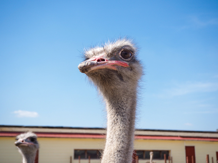 Ostrich bird head and neck front portrait in the paddock. Farm breeding farming of ostriches Stock Photo