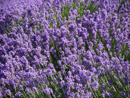 Summer background field of lavender flowers closeup backdrop.