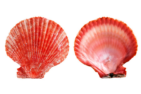 Two red seashell on white background Stock Photo