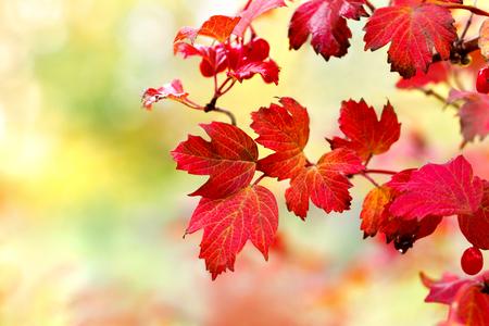 Viburnum leaves in autumn sunshine. Shallow DOF.