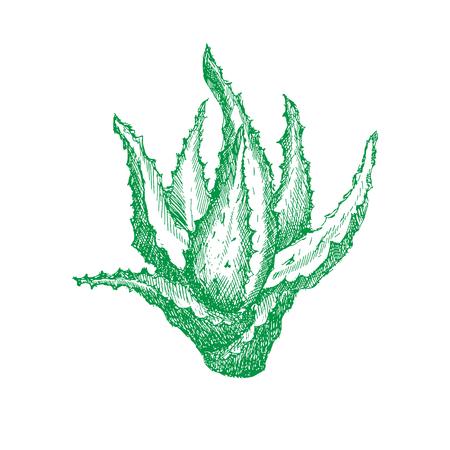 음영 또는 조각, 손수 벡터 일러스트 레이 션에서 알로에 베라의 녹색 식물. 포장용 또는 장식 용