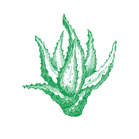 Green plant of aloe vera in shading or engraving, handmade vector illustration. For packaging or just for decoration