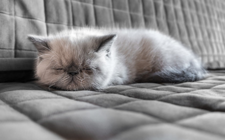 Portrait sleeping Exotic Shorthair kitten on the couch