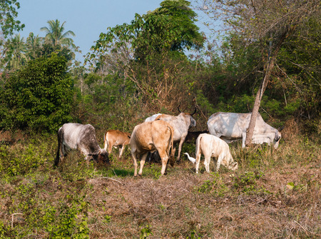 Thai cows in a pasture near the jungle in Thailand Banco de Imagens