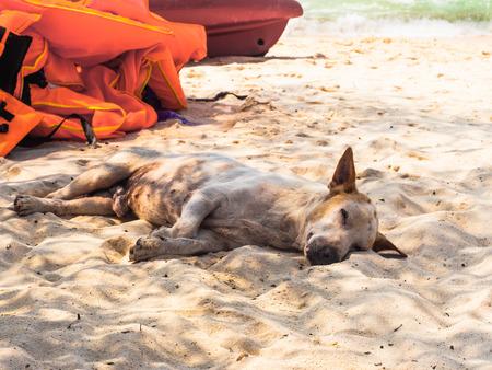 Sleeping homeless dog on the beach in Thailand photo