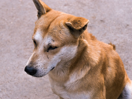 Portrait of a lonely stray dog ??in Thailand