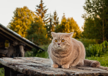 Beautiful British cat on a table in the summer evening on the nature.