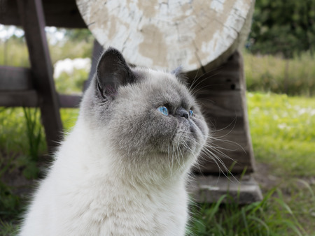 Portrait beautiful exotic shorthair cat lying in the grass on nature. Banco de Imagens