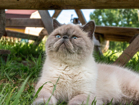 Beautiful exotic shorthair cat lying in the grass on nature. Banco de Imagens