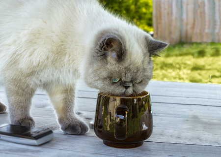 investigates: Exotic shorthair cat investigates a cup standing on the table. Stock Photo