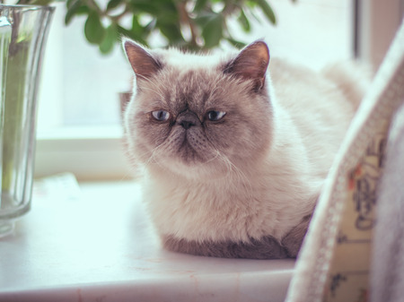windowsill: Portrait of a Exotic Shorthair cat lying on the windowsill