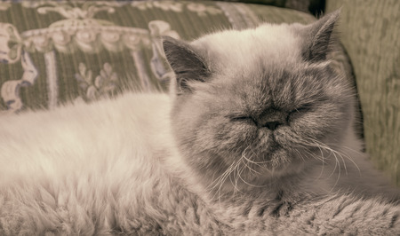Portrait sleeping Exotic Shorthair cat on the couch