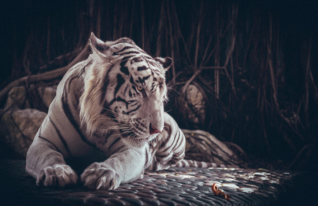 White tiger meditating on a leaf. Banco de Imagens