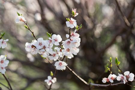 Flowering apricot
