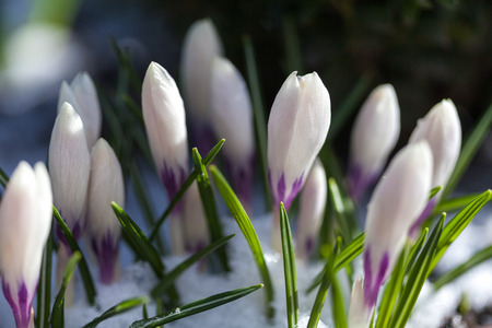 Blooming crocus in the snow. flora. plant. spring. Stock Photo