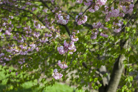 Flowering of a beautiful Japanese cherry in a botanical garden against a background of green leaves. Cherry small-log. Spring. Kiev. Ukraine. Prunus serrulata Pink Perfection. The hybrid of two Japanese varieties (P. Shimidsu-zakura x P. Kanzan), was