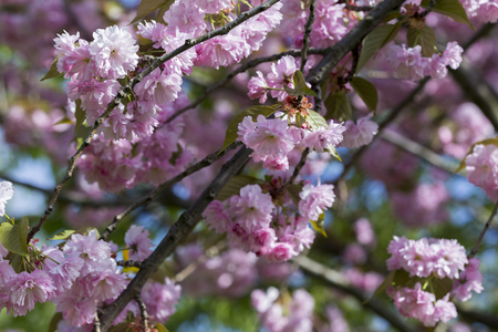 Flowering of a beautiful Japanese cherry in a botanical garden. Cherry small-log. Spring. Kiev. Ukraine. Prunus serrulata Pink Perfection. The hybrid of two Japanese varieties (P. Shimidsu-zakura x P. Kanzan), was bred in England in 1935. Banque d'images