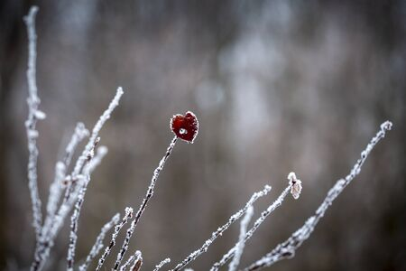 Beautiful lonely red leaf covered with hoarfrost. Frost. Winter. Gray bushes are covered with hoarfrost. Leaf in the form of a heart. Banque d'images