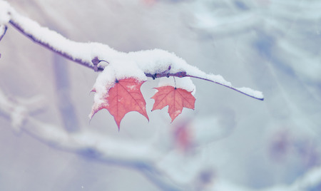 Winter snowing, branches with autumns leaves with snow covering. Snow drop on leafs in Moscow, Russia. Stock Photo