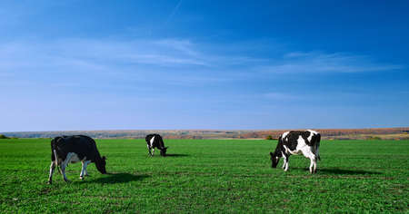 Cows on a green field. Herd of cows at summer green field. Image with space for text.