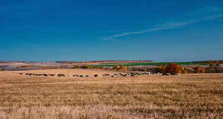 Herd of cows at autumn field. Panoramic landscape of central Russia agricultural countryside with hills. Autumn landscape of the rural valleys.