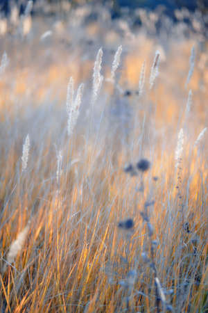 Sunrise in field. Autumn rural landscape with fog, sunrise and blossoming meadow. Wild grass blooming on Sunrise. Samara, Russia.