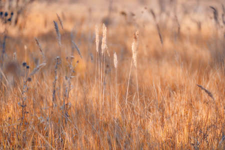 Soft focus blurred background image of Sunrise in field. Autumn rural landscape with fog, sunrise and blossoming meadow. Wild grass blooming on Sunrise. Samara, Russia.