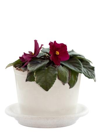Violet in a white pot